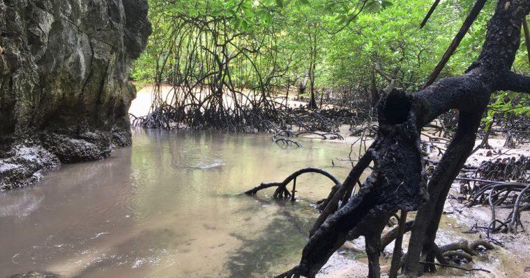 Exploring hidden Mangrove Forests